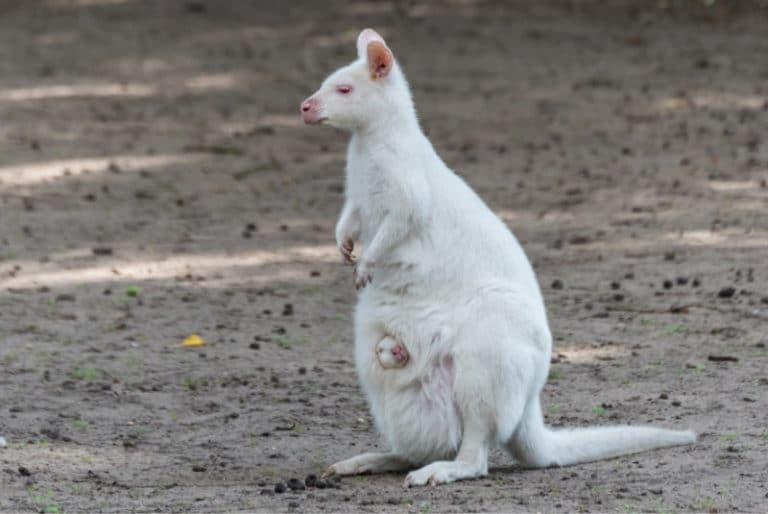 Wild- und Freizeitpark Osttrittrum - Känguru mit Baby im Beutel